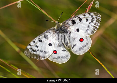mountain Apollo, Roter Apollo (Parnassius apollo) - Stock Photo