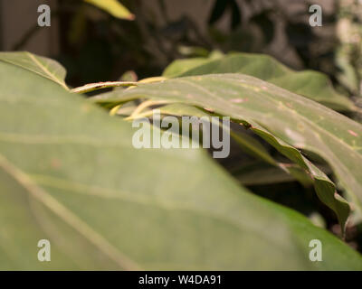 detail of leaves of an avocado tree