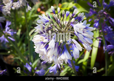Agapanthus Africanus Twister in full flowerin and for sale in July in a Wiltshire garden centre - Stock Photo