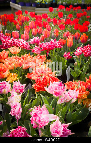 A mass of potted flowering red and pink tulip plants for sale in an English garden centre - Stock Photo