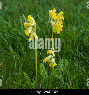 Yellow cowslips (Primula veris) flowering in a dewy meadow in spring in North Yorkshire, England - Stock Photo