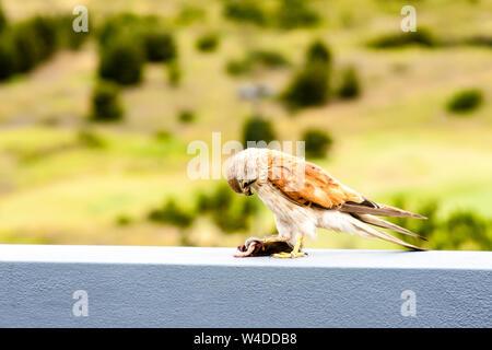 Australian kestrel (Nankeen Kestrel, Falco cenchroides) eating mouse - Stock Photo