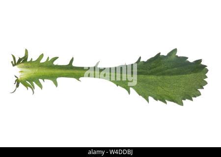 Margerite, Wiesen-Margerite, Wiesenmargerite, Magerwiesen-Margerite, dichter Margeriten-Bestand, Leucanthemum vulgare, Chrysanthemum leucanthemum, Leu - Stock Photo