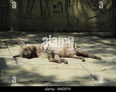 Striped Hyena lying down sleeping against the rocks - Stock Photo