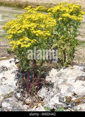 Ragwort (Jacobaea vulgaris, Senecio jacobaea) with its yellow flowers growing on the ruined sandstone walls of Bayham Abbey, Bayham, Sussex, UK. - Stock Photo