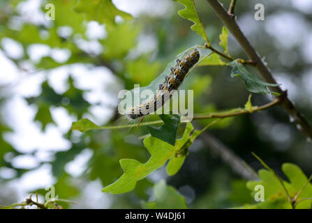 GERMANY,  caterpillar of oak processionary lat. Thaumetopoea processionea is a moth whose caterpillars can be found in oak forests, where they feed on oak leaves, causing significant damage and their hairs is harmful for humans / Deutschland, Mecklenburg, Raupe des Eichenprozessionsspinner, Eichen-Prozessionsspinner (Thaumetopoea processionea) befaellt eine junge Eiche, Brennhaare der Raupe können beim Menschen eine Raupendermatitis und andere Allergien auslösen - Stock Photo