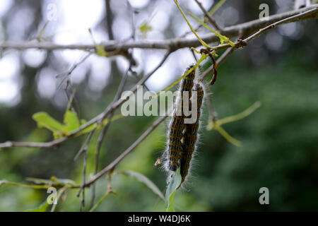 GERMANY,  caterpillar of oak processionary lat. Thaumetopoea processionea is a moth whose caterpillars can be found in oak forests, where they feed on oak leaves, causing significant damage and their hairs is harmful for humans / Deutschland, Mecklenburg, Raupe des Eichenprozessionsspinner, Eichen-Prozessionsspinner (Thaumetopoea processionea) befaellt eine junge Eiche, Brennhaare der Raupe können beim Menschen eine Raupendermatitis und andere Allergien auslösen - Stock Photo
