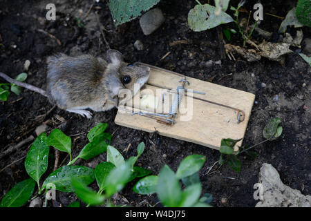 GERMANY, dead mouse in mouse trap with piece of cheese / Deutschland, tote Maus mit Käse in der Mausefalle