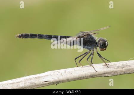 Brachythemis imparts northern banded groundling species of dragonfly that lives in marshes and areas of water flooded perched on a stick on green back - Stock Photo