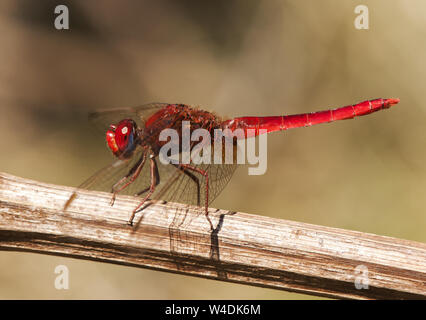 Crocothemis erythraea scarlet-darter intense red color dragonfly very common in Andalucia - Stock Photo