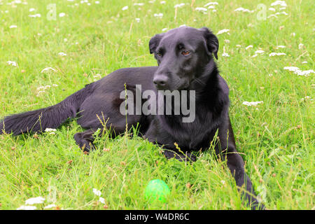Happy black dog lying on the lawn in the garden and playing with green ball - Stock Photo