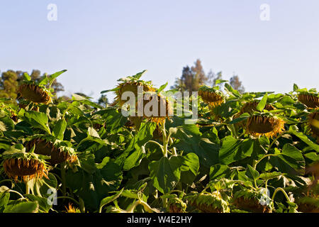 Sunflower Field on a Farm Starting to Bloom in Vacaville, California, USA - Stock Photo