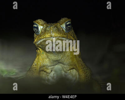 Cane Toad Rhinella marina Makira Island, Solomon Islands, South Pacific.  Introduced to Makira and now a major threat to native wildlife the toads hav - Stock Photo
