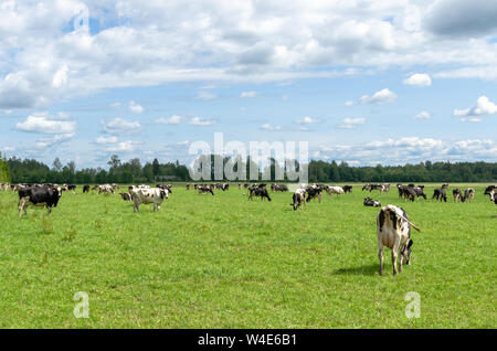 Holstein Friesian cattle grazing in the countryside