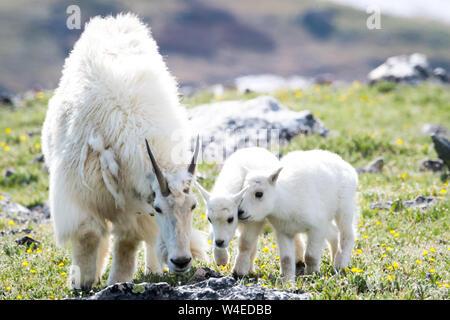 Nanny goat with 2 kids - Stock Photo