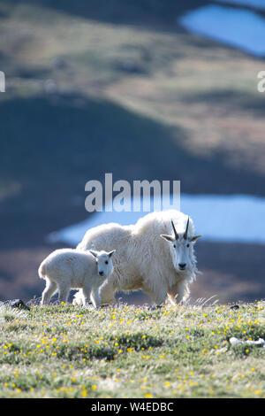 Nanny goat with kid - Stock Photo
