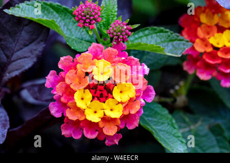 Lantana Or Shrub Verbena at Butchart Gardens - Brentwood Bay, near Victoria, Vancouver Island, British Columbia, Canada - Stock Photo