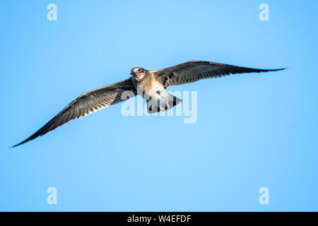 Sea gull flying over head with a blue sky - Stock Photo