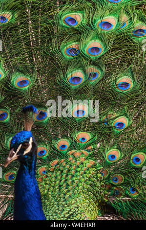 Image of a splendid Indian peacock (Pavo cristatus) fanning out its tail feathers. - Stock Photo