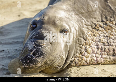 Northern Elephant Seal Adult Male Close-up. - Stock Photo