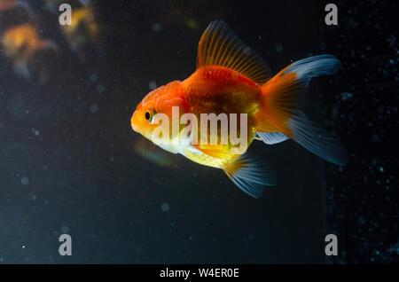 Goldfish nature beautiful fish against the dark background - Stock Photo