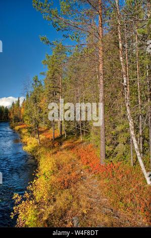 taiga forest, Scot's Pine (Pinus sylvestris), Ruska time (autumn), Pallas-Yllastunturi National Park, Lapland, Finland - Stock Photo