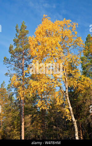 taiga forest, Scot's Pine (Pinus sylvestris), Birch (Betula pubescens), Ruska time (autumn), Pallas-Yllastunturi National Park, Lapland, Finland - Stock Photo