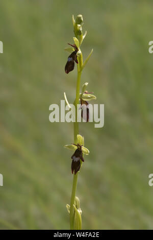 Fly Orchid (Ophrys insectifera) - Stock Photo