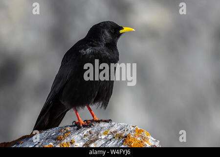 Alpine chough, yellow-billed chough, Alpendohle (Pyrrhocorax graculus) - Stock Photo
