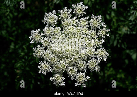 Daucus carota in bright sun. Its common names include wild carrot, bird's nest, bishop's lace, and Queen Anne's lace - Stock Photo