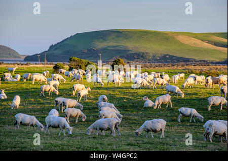 Sheeps grazing in the green fields of the Catlins, South Island, New Zealand - Stock Photo