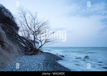 Fallen tree at the chalk coast at dusk, Jasmund National Park, Ruegen, Germany - Stock Photo
