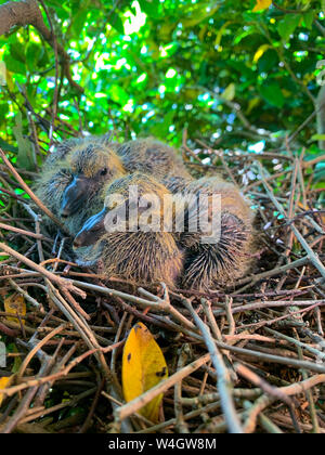 Baby racing pigeon in the nest near the bird egg on the ...