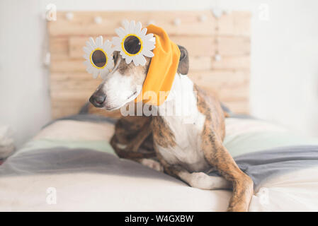 Portrait of Greyhound lying on bed wearing novelty glasses and headband - Stock Photo