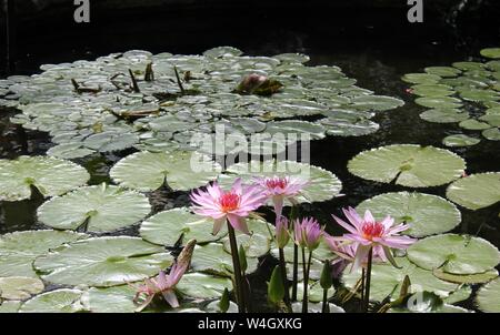 Beautiful pink Lily pads in full bloom on a gorgeous summer day. - Stock Photo