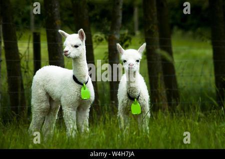 White alpaca babies - Stock Photo