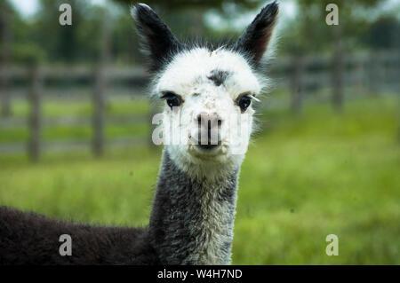 Gray alpaca closeup - Stock Photo