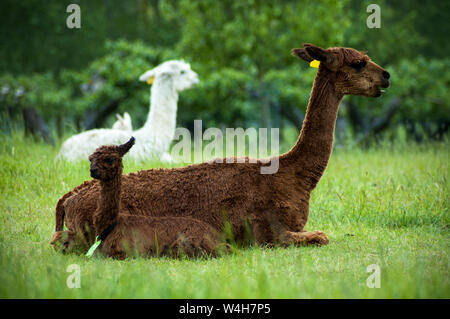 Brown alpaca mother and baby - Stock Photo