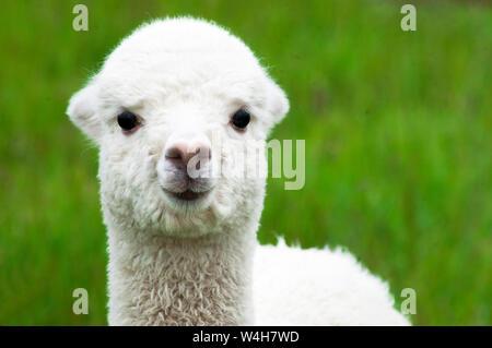 White alpaca baby closeup - Stock Photo