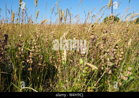 Yellow Rattle (Rhinanthus minor) semi-parasitic plants growing in grassland wildflower meadow.  Llaneilian, Isle of Anglesey, north Wales, UK, Britain - Stock Photo