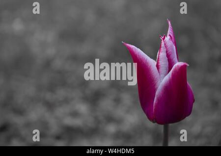 Tulips on black and white background. - Stock Photo