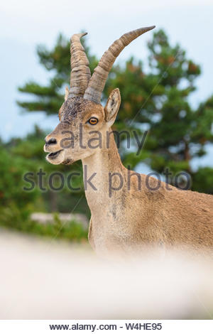 Spanish Ibex capra pyrenaica in nature, natural park els ports - Stock Photo