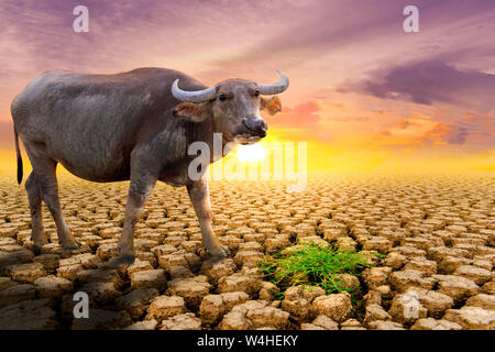 The concept of natural drought of the environment on Earth: causes animals (buffalo) lacking food, dry soil, soil, background, soil surface with soil - Stock Photo
