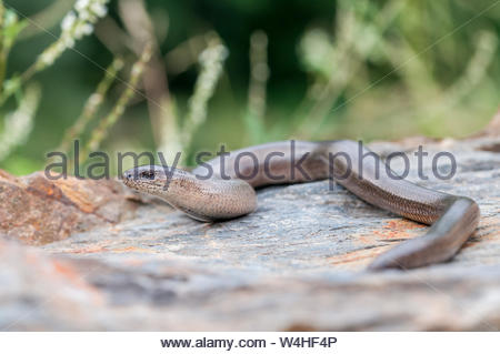 adult male Slow worm, Anguis fragilis, - Stock Photo