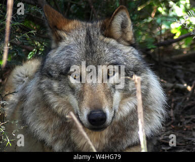 The Grey Wolf was persectuted by mankind to extinction in the British Isles and in many places around Europe. - Stock Photo