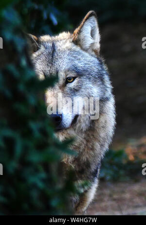 The Grey Wolf waspersectutedby mankind to extinction in the BritishIsles and in many places around Europe. - Stock Photo