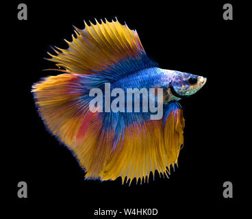 Blue and yellow Siamese fighting fish isolated on blue background. - Stock Photo