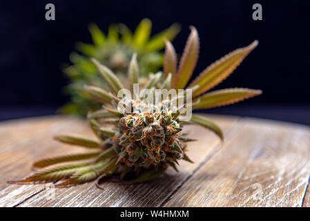 Detail of blooming cannabis flower with leaves and visible tricomes over wood background, medical marijuana concept - Stock Photo