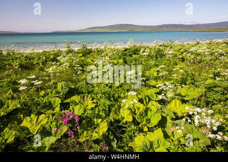 Umbellifers growing on the coast edge on Orkney Mainland looking towards Rousay, Scotland, UK. - Stock Photo