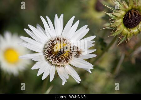 Südafrikanische Prachtdistel (Berkheya cirsiifolia) im Botanischen Garten - Stock Photo